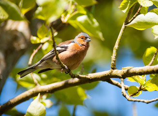 common chaffinch bird perched on a branch
