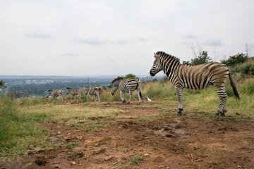 Mountain zebras (Equus zebra), Pretoria