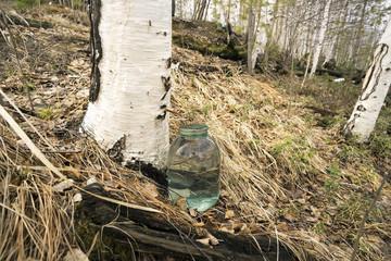Collecting birch sap.