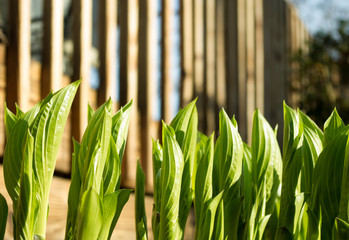 Hostas Unfurling in Spring