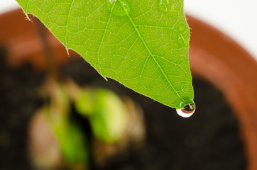 water drop on first leaf of a young red oak