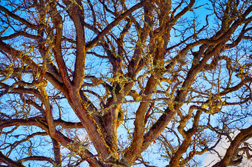 oak tree, branches and twiggs, close-ups