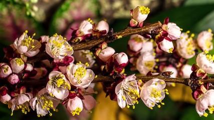 4k time lapse apricot flowers flourishing