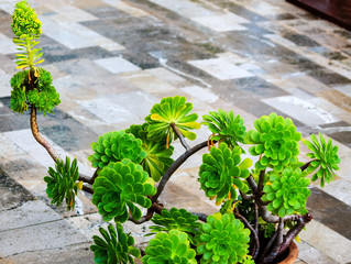 Aeonium Deco- Pflanze ( Sukkulenten )