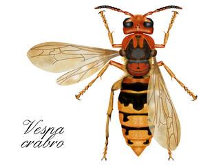 vespa crabro, hornet