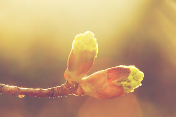 Blooming spring bud in morning light. Sunny nature