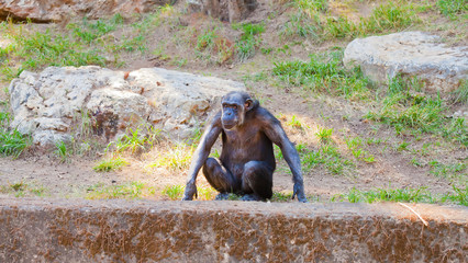 Lone chimpanzee