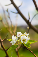 Blooming Pear Tree Flowers on Branch