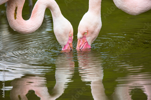 Foto op Plexiglas Flamingo few flamingos filter food from the water