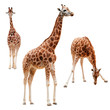 Three giraffe in different positions isolated with clipping path - 82260718