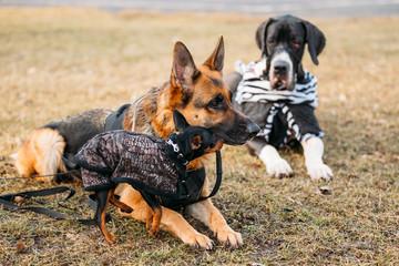 Brown German Sheepdog And Black Miniature Pinscher Pincher Toget
