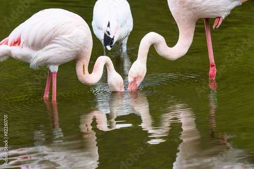 Foto op Aluminium Flamingo few flamingos filter food from the water