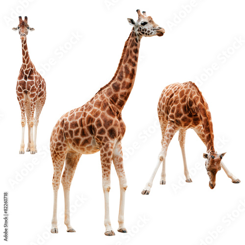 Staande foto Giraffe Three giraffe in different positions isolated with clipping path