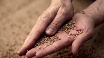 Adult man hands holding wheat grains