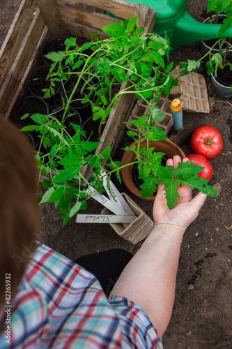 Tomaten-Pflanzen selbst ziehen