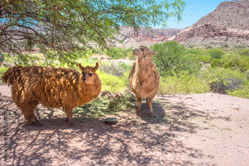 Foto op Plexiglas Lama Llamas grazing, North of Argentina, Salta