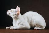 Portrait of  Cornish Rex Cat on Brown Background