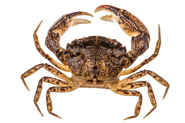Crab, isolated on white background