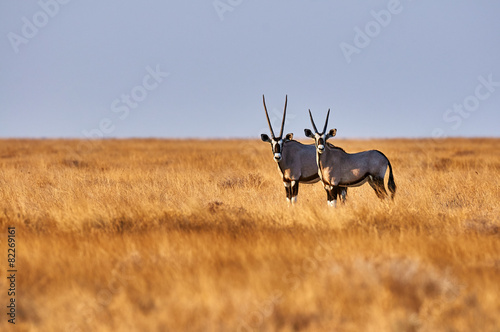 Poster Antilope Two oryx in the savannah