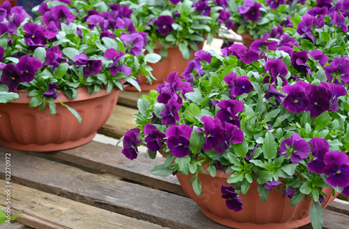 Pots of purple pansies