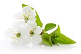 Cherry blossom - 82289524