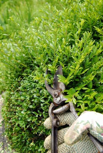 Formschnitt Lonicera nitida, Immergrüne Heckenkirsche - 82290504