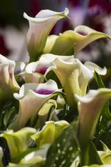 calla lily in the garden