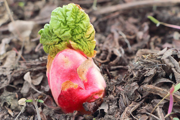 Sprout of a rhubarb with a leaf