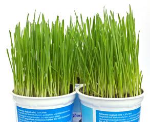 Weizengraszüchtung in Joghurtbechern