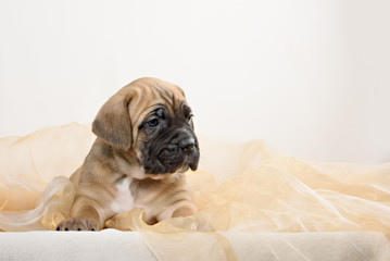 Puppy cane Corso fawn color on a light background