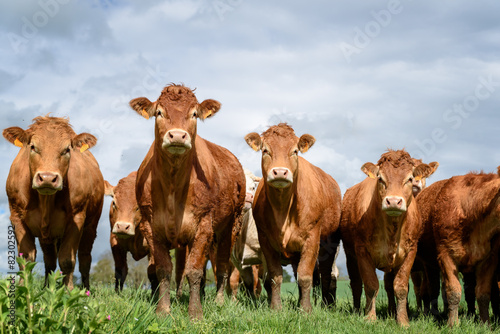 Deurstickers Koe vaches brunes