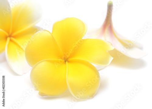 In de dag Frangipani flowers