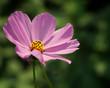 Pink Cosmos flower on a green garden background