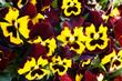 "Beautiful pansy flowers  ""Joker Mahogany Gold"""