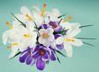 Spring crocus flowers blue background