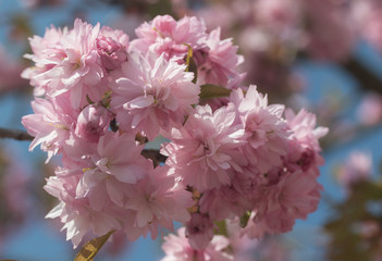 Closeup of blooming Sakura. Horizontally.