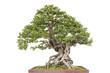 Bonsai pine tree against a white wall - 82316766