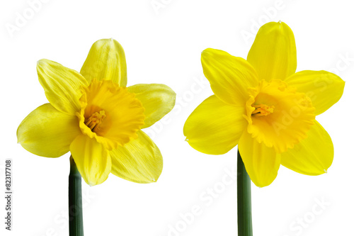Foto op Aluminium Narcis Daffodil Flower