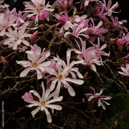 Staande foto Magnolia Magnolia × loebneri 'Leonard Messel'