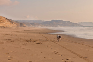 Jack russel terrier running on the Pacific ocen beach