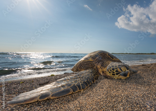 Foto op Canvas Schildpad Green Turtle on the beach in Hawaii
