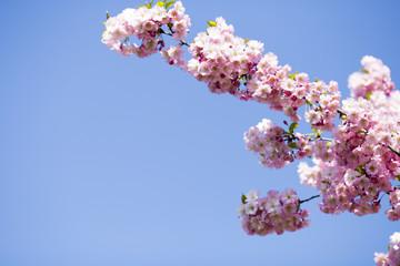Sakura. Tree cherry on the garden.