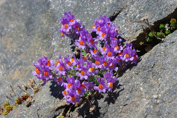 Fleurs alpines