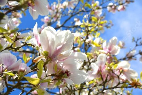 Deurstickers Magnolia Magnolien