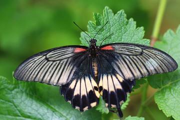 Papilio memnon, Great Mormon