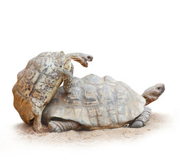 Funny picture of a love making turtles couple.