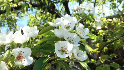 Pear flowers blooming in springtime. Branches of pear tree in bl