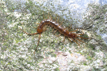 Brown or stone centipede (Lithobius forficatus) hunting