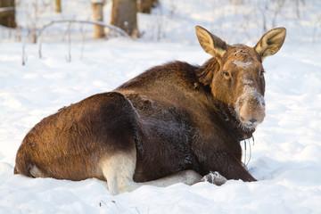 Elk lying on the snow