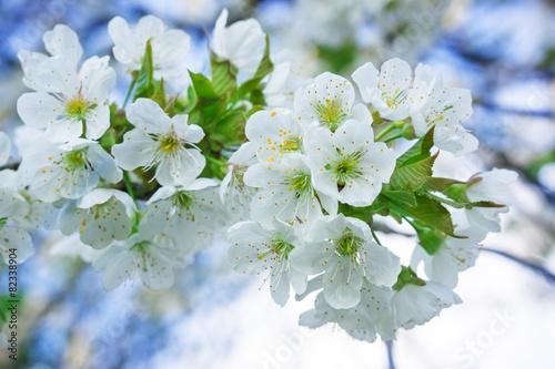 Aluminium Kersen Weiße Blüten, Kirschblüte
